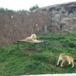 Lions at Almaty zoo